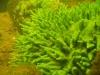 suesswasserschwamm